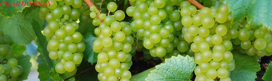 Rượu vang Chardonnay
