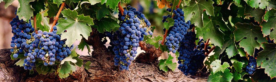 rượu vang Carmenere