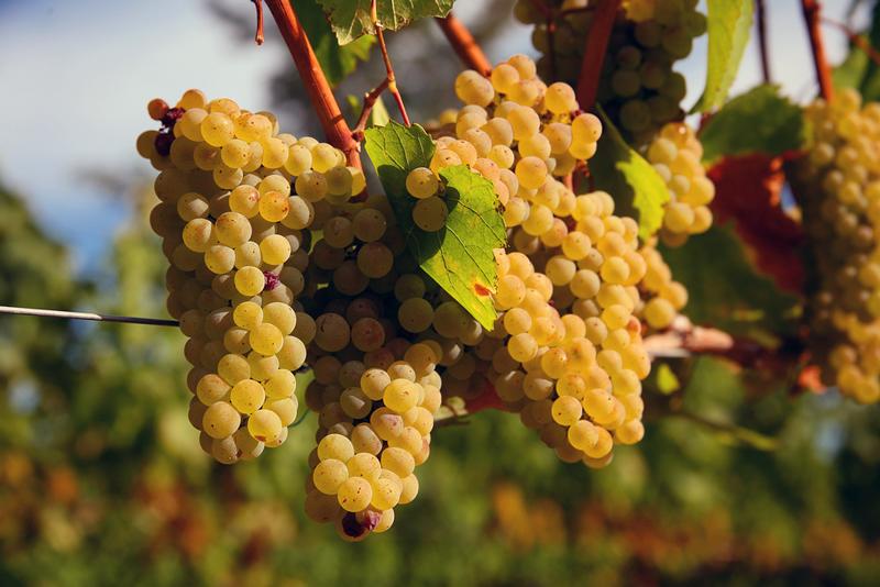 Đặc điểm sinh trưởng của giống nho Chardonnay